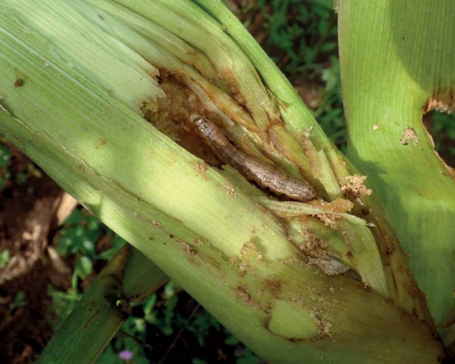FAW larva in maize cob